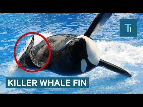 Why Killer Whales' Fins Collapse And Why It's More Common In Captivity
