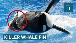 Why Killer Whales' Fins Collapse — And Why It's More Common In Captivity