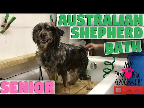 Australian DOG SHAVE DOWN- SHAVE EVERYTHING DOWN IN TEXAS