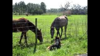 How Do You Work A German Shepherd Around Horses?