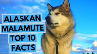 Alaskan Malamute  TOP 10 Interesting Facts