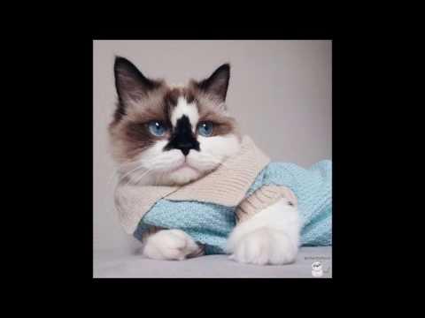 Burmese kittens ☻ шелковые котята ☻ fun cats ☻ смешные .