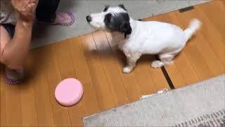 名前→パール 犬種→ジャックラッセルテリア 性別→オスみたいなメス……… 誕...