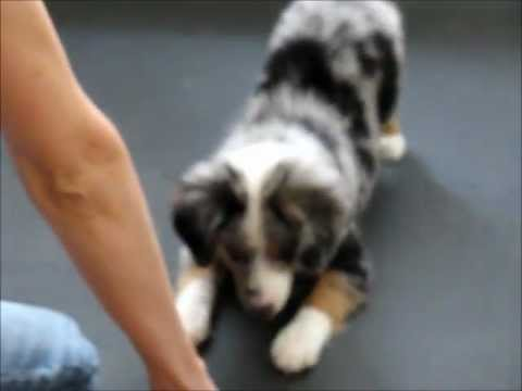 Amazing All-Star Mini Aussie Puppies Show Off Their Tricks!  www.allstarminiaussies.com