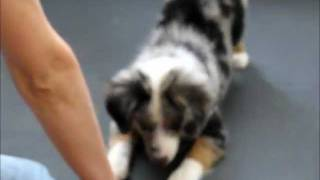 Amazing All-Star Mini Aussie Puppies Show Off Their Tricks!  www.allstarminiaussies.com