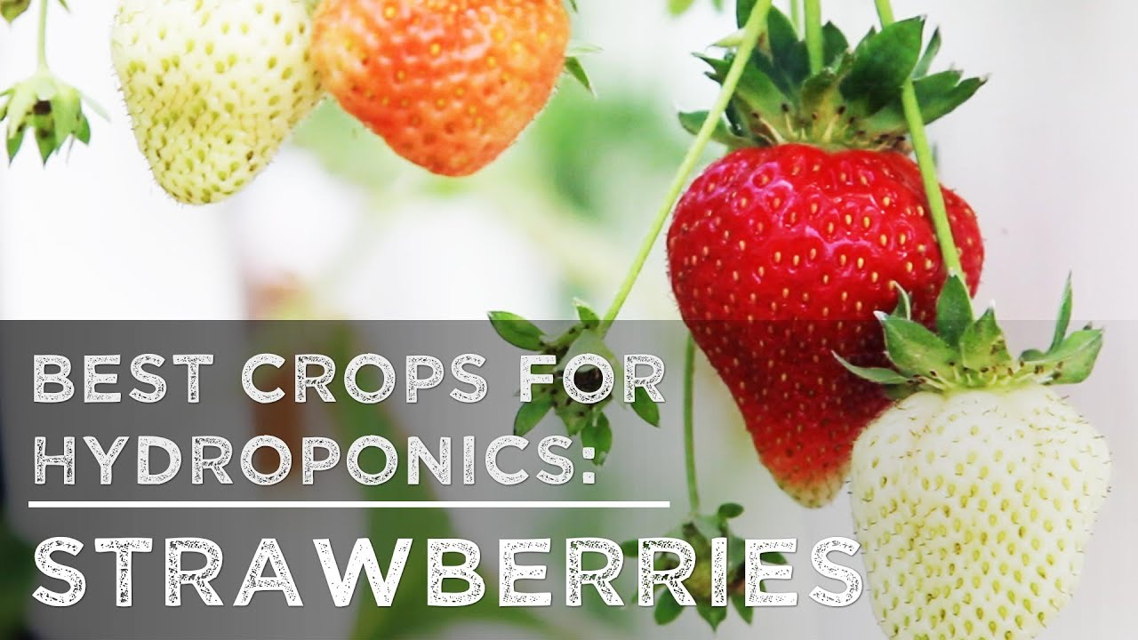 Merveilleux Best Crops For Hydroponics: Strawberries   YouTube