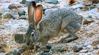 Black-Tailed Jackrabbit Rips Up High Desert Grasses to Eat