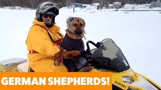 Funny and Cute German Shepherds   Funny Pet Videos
