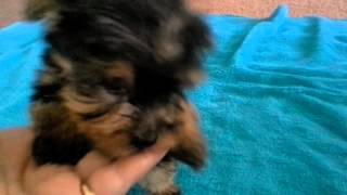 Traditional Colored Male Morkie: The Faery Dog Mother Yorkies, Maltese And Hybrid Puppies