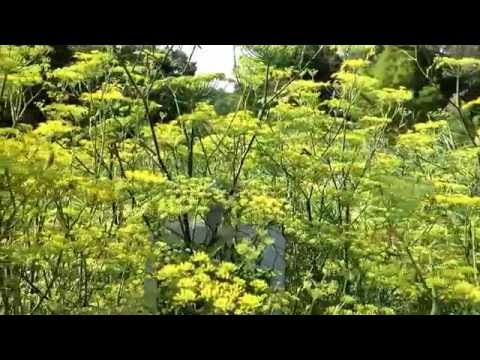 Pollinators on fennel blooms at Virginia Beach Middle School butterfly garden