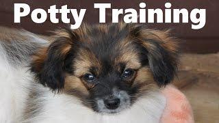 How To Potty Train A Phalene Puppy - Phalene House Training Tips - Housebreaking Phalene Puppies