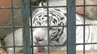 Белый тигр. Животное белый тигр. Видео белый тигр. Приколы с тиграми(Автор: Александра Лихачёва. http://positivecreativ.ru Животный мир: https://www.youtube.com/playlist?list=PLiC3Oer4R1YEUgqBkxwgGz0x6NyCkUNvB ..., 2014-05-09T20:50:25.000Z)