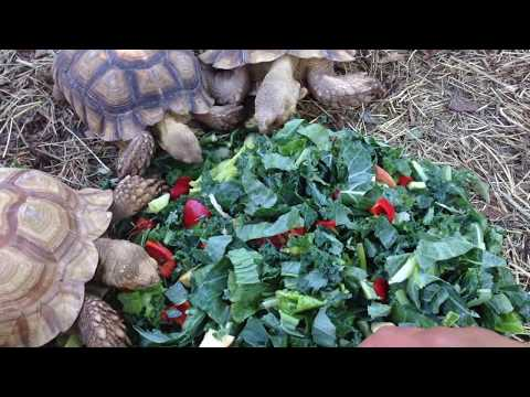 Sulcata Tortoise Care and Feeding