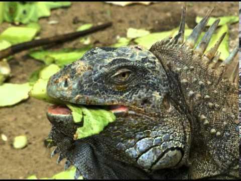 Lesser Antillean Iguana Facts
