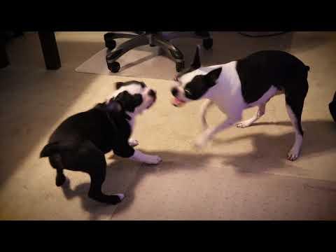 Boston Terriers being Bostons