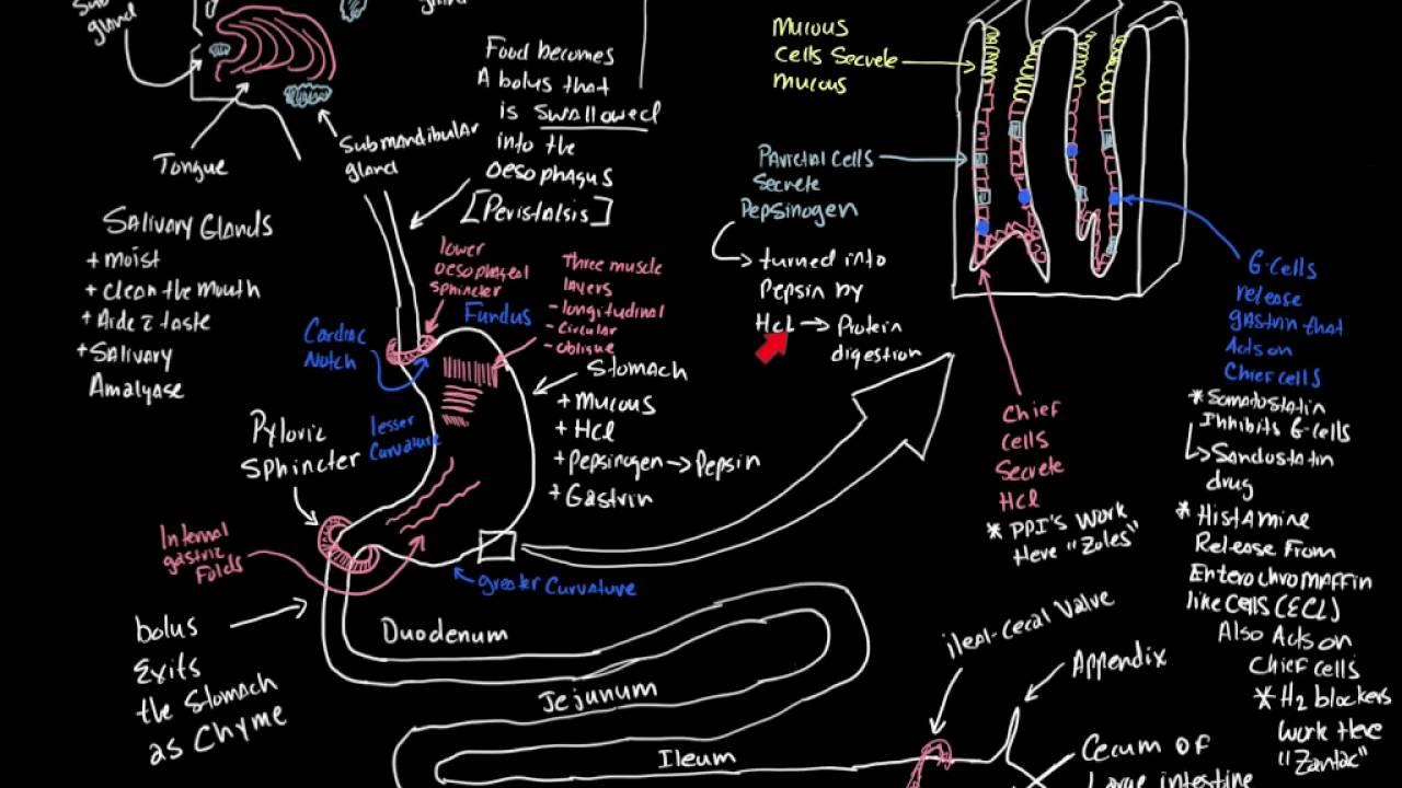 Beautiful Paramedic Anatomy And Physiology Study Guide Model - Human ...