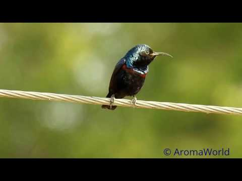 Purple Sunbird - Mating Song & Courtship Acts.