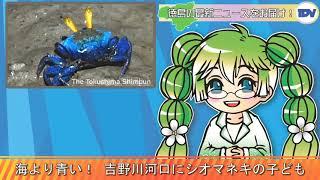 【音声ニューステスト】海より青い! 吉野川河口干潟にシオマネキの子ども