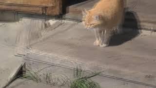 Рыжая гоняет всех кошек.  Блюдёт свою каноническую территорию.  04. 09. 2019