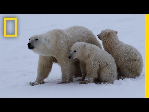 Polar Bear Survival | Untamed Americas