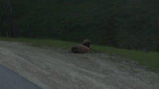 Bear Devours Roadkill Elk || ViralHog