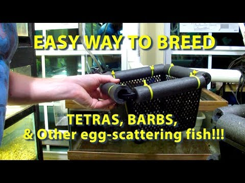 Quick And Easy Way To Breed Barbs, Tetras, And Other Egg Scattering Fish!