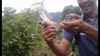 Pikat burung kutilang malah dapat burung kedasih hutan mantap