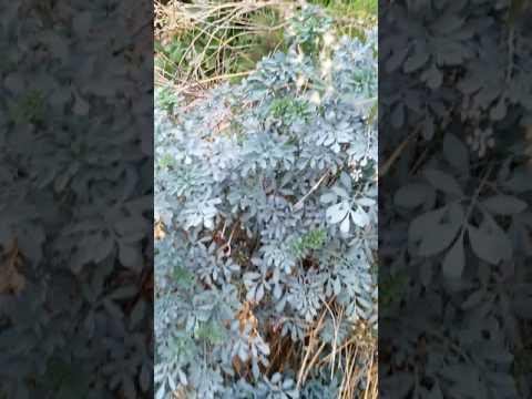 نبات الفيجل او السذاب مفيد لعدة امراض منها المس والسحر والعقم thumbnail