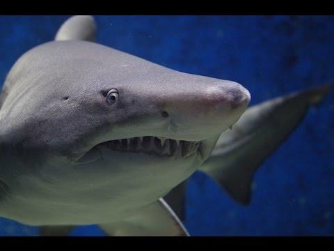 Top Ten Most Dangerous/Aggressive Sharks to Humans