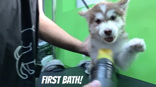 Husky Puppy First Bath/Grooming Experience!