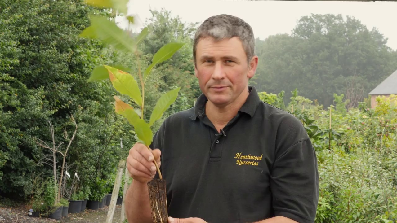 How To Plant A British Grown Sweet Chestnut Tree Expert Advise From Heathwood Nurseries