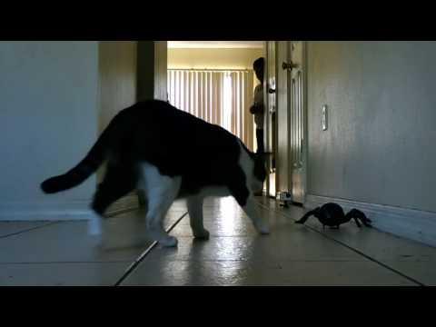 Tarantula Cat Prank