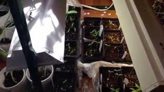 Seedlings Growing Under Lights