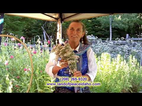 organic-healing-oil-made-from-the-valerian-flower