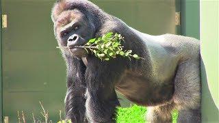 シャバーニ家族 242 Shabani family gorilla