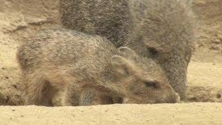 Anak Peccary Bermain di Kebun Binatang San Diego