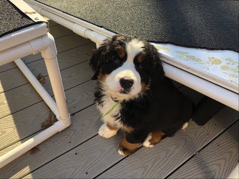 Bernese Mountain Dog Pup 9 week Karlie Available.