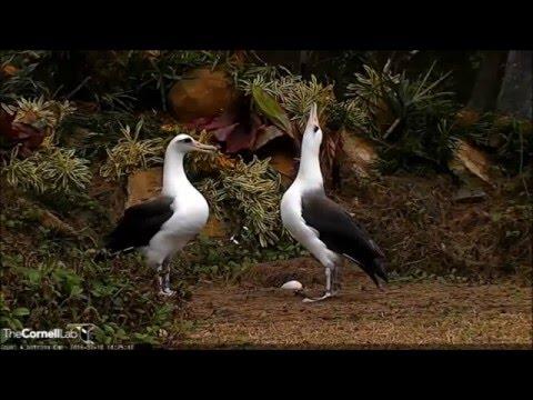 2016 Albatross Cam - 2/18/16 - Laysan Albatross Courtship Dance