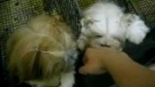 Furry Dogs (lhasa Apso Or Shih Tzu?) In Crating And Grooming Area