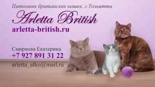 Милые котята играют. Британцы. Лиловые котята. Маленькие котята. Питомник