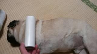 パグ犬ムゥにコロコロをしてみました。生え変わりの季節なので、びっし...