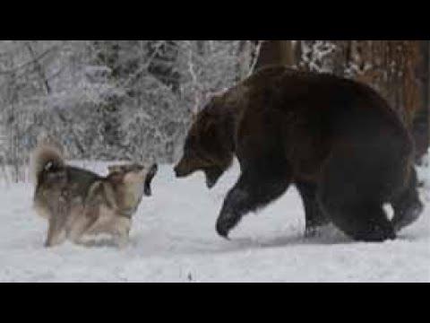 Волк против медведя.