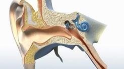 Wie funktioniert das Ohr?