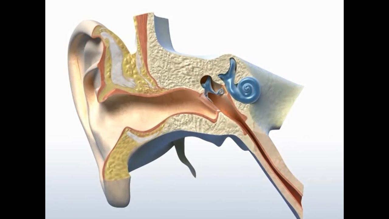 Wie funktioniert das Ohr? - YouTube