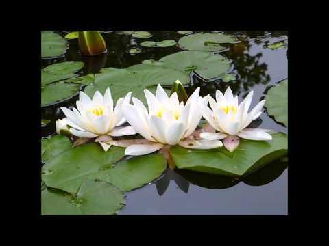 Красная книга Украины. Кувшинка — царица прудов  - Water lilies - Nympheua