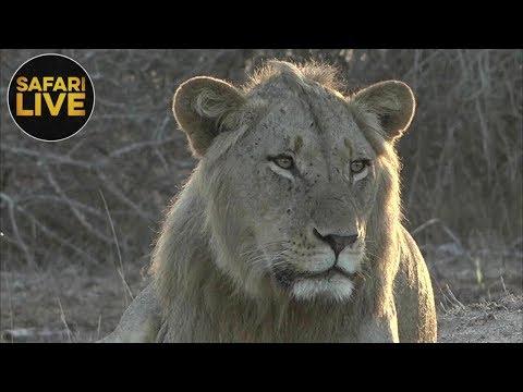 safariLIVE - Sunrise Safari - November 16, 2018
