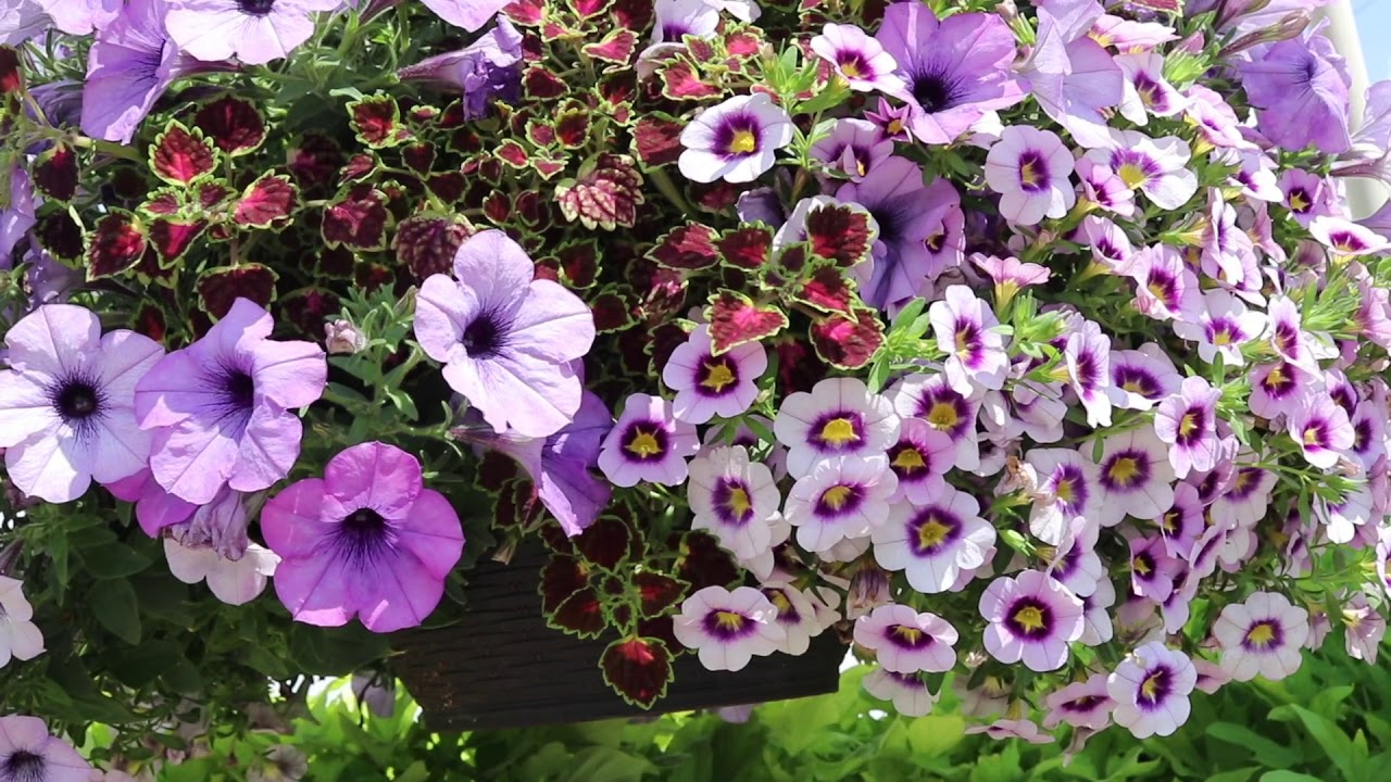 Hanging Basket Bepflanzen Confetti Garden At Mast Young Plants