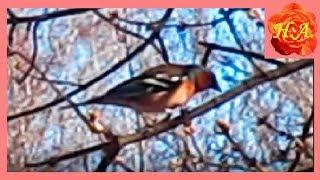 Птицы весной Зяблик Случайная встреча🐦