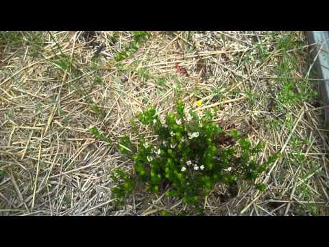 Growing Cranberries Without A Bog