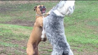 A Boxer Struggles With an Old English Sheepdog
